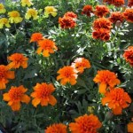 tagetes_gross